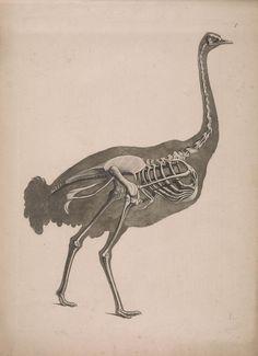 [Die vergleichende Osteologie