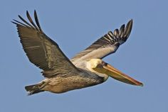 #PanamaCityBeach is a bird-watcher's delight with over 200 species including pelicans, blue herons, woodpeckers, song birds and gulls.