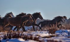 A herd of wild brumbies runs on the plains above Kiandra in the Kosciuszko national park in New South Wales, Australia © Mike Bowers for The Guardian Brumby Horse, Wild Horses Running, Free Horses, Wild Mustangs, Victoria Australia, Wild Ones, Wild And Free, Red Cross, The Guardian