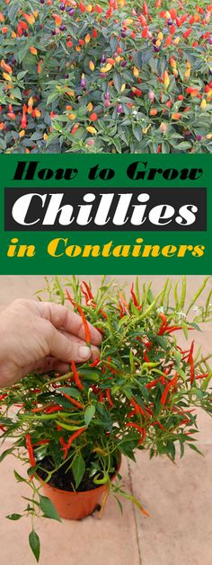How to Grow Chillies in Containers