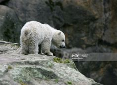 Knut, a four-month-old polar bear cub, plays in his enclosure at Berlin's Zoologischer Garten zoo on April 3, 2007 in Berlin, Germany.