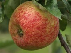 Duchess of Oldenberg. Ripens: August. Pollinators: Golden delicious, Cortland, Pink lady