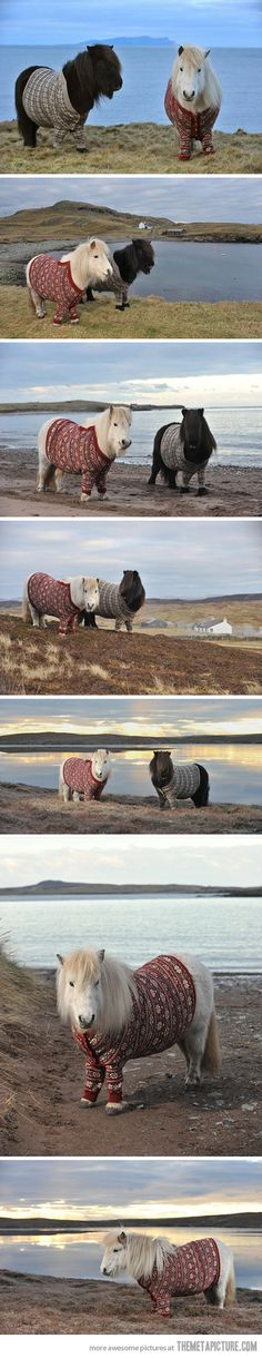 Two Shetland Ponies in cardigan sweaters in Scotland qsample.com