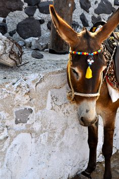 Beautifully decorated, hard worked, donkey. Santorini