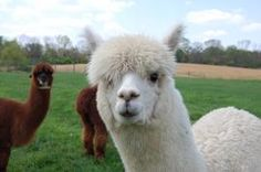 The beautiful LAS Peruvian Accoyo Liberty-Star would be a great addition to any alpaca herd. Selling for $10,000  http://www.nralpacafarm.com/product/las-peruvian-accoyo-liberty-star/