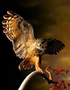 owl spread wings
