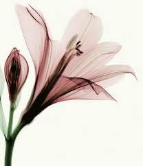 x ray photography flowers - Cerca con Google