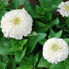 Outsidepride Zinnia Elegans Dahlia Polar Bear - 1000 Seeds Outsidepride is a family owned U. USDA Zones: 3 - 10 Height: 36 inch annual Bloom Color: White Sowing Rate: 2 - 4 seeds per plant Zinnia Elegans, Seeds, Bellflower Flower, Flowers, Poppy Flower Seeds, Zinnia Flowers, Zinnias, Flower Seeds, Dahlia Flower