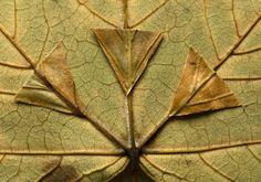 https://flic.kr/p/zrVcZJ | Triangulated Autumn Leaf | For Macro Mondays' Triangle Theme  #Beautiful #geometry #leaves #autumn #photography