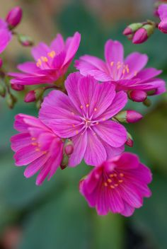 """Lewisia cotyledon """"Regenboden"""" 
