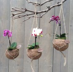 miniature Phalaenopsis in kokedama-like pots hanging from a branch