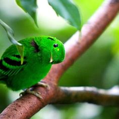 The lesser green broadbill, a small bird measuring 17cm,they are beautiful with brilliant shiny green plumage with black ear patch and markings on wing,the beak is very weak and almost covered by the crest,this cute little bird is found in borneo,sumatra and malay peninsula where it sits motionless on the high canopy of rainforests,they are often not seen for their green color that melts with the rainforest environment.