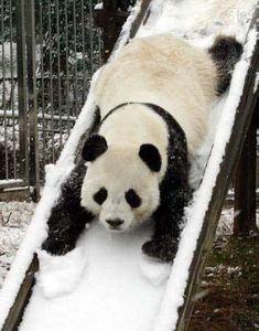 panda on a snow slide!