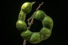 Seed pod of Madras thorn acacia (Pithecellobium...Compound, Abu Hamour area. Doha, Qatar