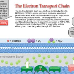 A colorful, one-page electron transport chain study guide. It is in Word format so you can edit and share as you'd like.