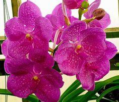 Fuchs Katsura X Vanda Orchid | Vanda Natchaya Beauty