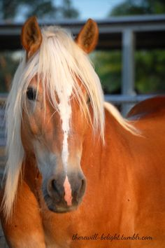 therewill-belight: Betelguese, 11 year old halflinger gelding. Watch out FEI pony dressage classes, this guy is on his way ; Pony Breeds, Horse Breeds, Haflinger Horse, Dressage, Beautiful Horses, Exotic, Creatures, Ponies, Guy