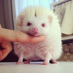 Chin up! The pink-eyed albino hedgehog poses for the camera as it enjoys being tickled under the chin. Albino Hedgehog, Baby Hedgehog, Cute Little Animals, Baby Animals, Animal Pictures, Cute Pictures, Pets Online, Mail Online, Fauna