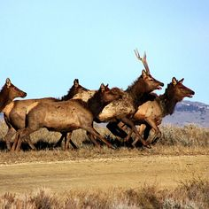 lacey_bearElk on the move ! Elk, Camel, Instagram Posts, Animaux, Moose, Camels, Bactrian Camel