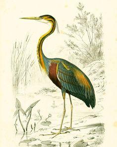 1861 Héron pourpré Ardea purpurea Gravure Ancienne Ch. d' Orbigny Original Histoire Naturelle Ornithologie Lithographie
