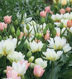 Tulip 'Apricot Beauty' Tulip 'Exotic Emperor' Tulip 'Spring Green'Image