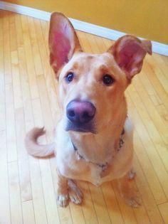 Toad - German shepherd/Rhodesian ridgeback/pitbull/Boston terrier mix!
