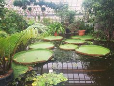 The most #huge #lily #leaves you've probably ever seen...
