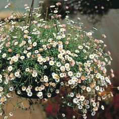 Mexican fleabane (Erigeron karvinskianus Profusion), for planting in the cracks in our paving. Available as seed from here - sow before July. Herbaceous Border, Herbaceous Perennials, One Summer, Summer Garden, Coastal Gardens, English Country Gardens, Drought Tolerant Plants, Garden Planning, Garden Inspiration