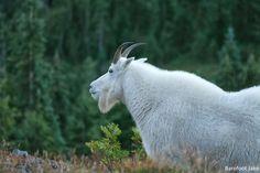 Bailey Range Mountain Goat - Olympic National Park