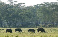 Rhinos in Lake Nakuru National Park, Kenya