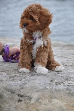 Cavalier King Charles Spaniel + Poodle = Cavapoo I Like! my dog is having puppies that are going to be this breed. Cavapoo Puppies, Cute Puppies, Cute Dogs, Dogs And Puppies, Cockapoo, Goldendoodles, Cavoodle Dog, Bernedoodle Puppy, Puppys