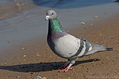 Rock Pigeon (photo by Dave Freriks)