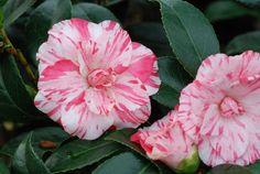 Camellia Campari
