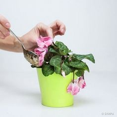 Bring Your Wilted Flowers Back To Life With Only Three Ingredients - The Plant Guide Plant Guide, House Plants, Horticulture, Flower Pots, Plants, Cyclamen Care, Wilted Flowers, Dying Plants, Flowers