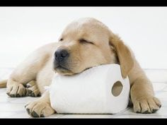 Photographic Print: Yellow Labrador Puppy Asleep on Toilet Roll, 9 Weeks : - Puppy Yellow Lab - Puppies Labrador Retrievers, Retriever Puppies, Labrador Chocolate, Golden Labrador, Black Labrador, Puppy House, Training Your Puppy, Potty Training, Most Popular Dog Breeds