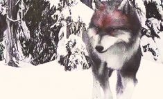 """ ✚ WOLF/WEREWOLF GIF HUNT ✚ "" As requested by myself, here is a gif hunt containing small, hq gifs of wolves/werewolves/shape-shifters. These gifs are from The Twilight Saga and can be used in. Twilight Wolf Pack, Twilight Saga Series, Twilight Edward, Twilight Movie, Fantasy Creatures, Mythical Creatures, Jacob Black, Demon Stories, Arcane Trickster"