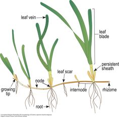 plant morphology diagram - Google Search