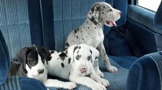 Harlequin great dane. When I have my own house and am married. My first pet.