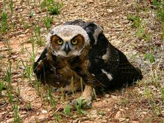 Great Horned Owl (Bubo virginianus) juvenile. Photo by Zach Phillips.