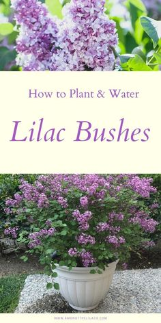 Learn how to plant and water a lilac bush! Lilac bushes produce beautiful and fragrant lilacs and they& also a low-maintenance perennial shrub! maintenance garden ideas tips Shade Perennials, Shade Plants, Water Plants, Fruit Garden, Garden Plants, House Plants, Flowering Plants, Lilac Tree, Shade Grass