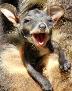 Baby wallaby.