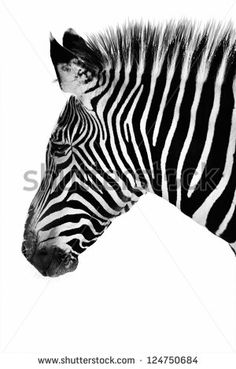 Profile of a zebra in black and white.  If you look closely at his ear, he appears to have a lion face in his pattern!  This is his natural pattern, not a photo manipulation. - stock photo