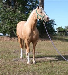 Quarter Horse Mare For Sale in Florida