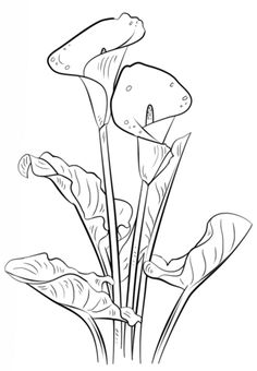Calla Lily Coloring page from Lilies category. Select from 20946 printable crafts of cartoons, nature, animals, Bible and many more.