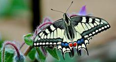 Papillon Machaon (Papilio machaon) - Crédit photo : Jean-Jacques Carlier