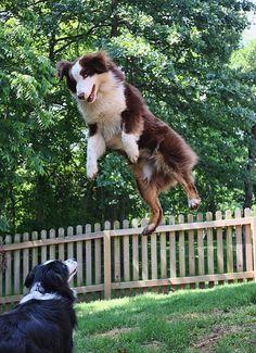 Australian Shepherd levitation...they can do it!