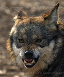 mexican wolves - Google Search