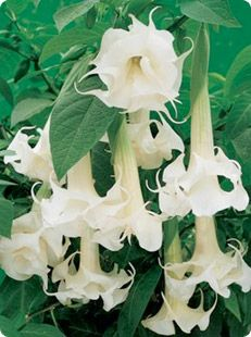 ~Angel Trumpets. This perennial blooms at night and the smell is amazing.  This Perennial will re-seed...