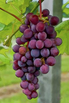 ~~August Grapes by Michael Flood~~