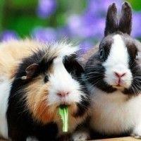 Quels sont les signes de #stress chez les #lapins et #cobayes ? - #Blog #zoomalia http://www.zoomalia.com/blog/article/signes-stress-lapins-cobayes.html